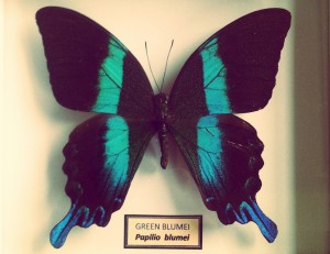 My own papilio blumei
